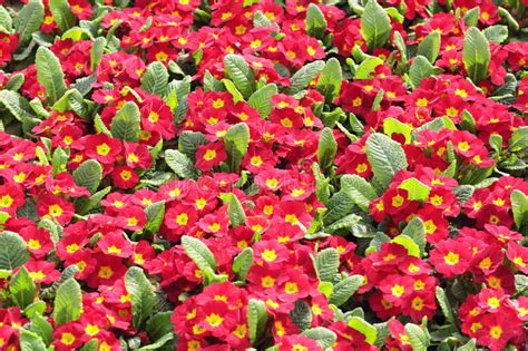 primula rossa fiore primula rossa fotografia stock immagine di perenne fiori