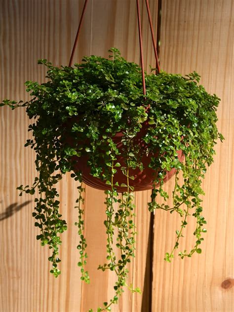 best small hanging plants top 10 plants for hanging baskets