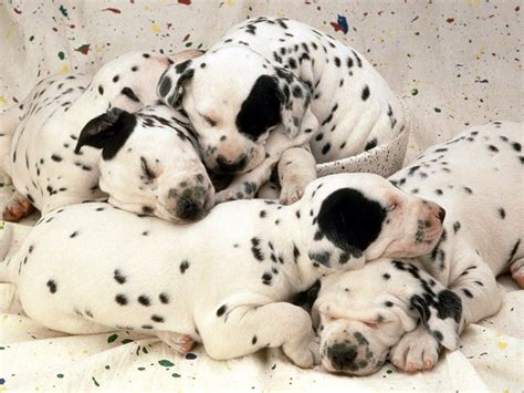 Dalmatian Shedding by Breed Directory Dalmatian Breed