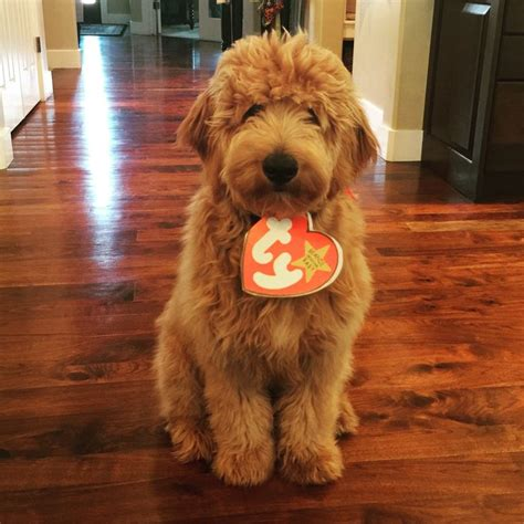 doodle doodle puppies best 25 goldendoodles ideas on goldendoodle