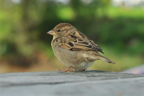 house sparrow pest control services greenleaf pest