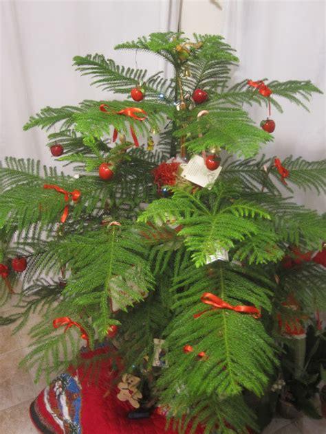 tropical texana norfolk island pine christmas tree this