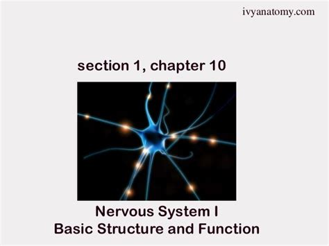 chapter 10 section 1 section 1 chapter 10 neurons