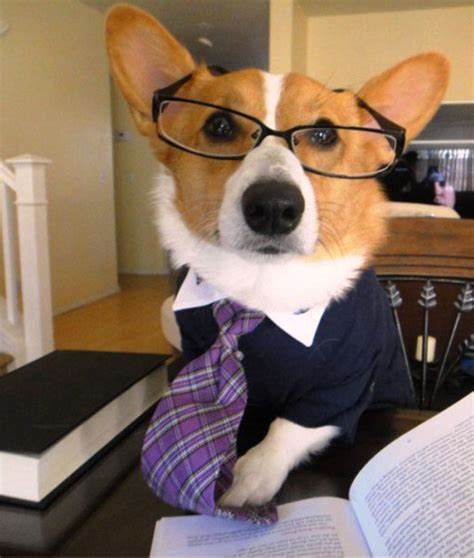 Corgi Lawyer Meme - business corgi meme www imgkid com the image kid has it