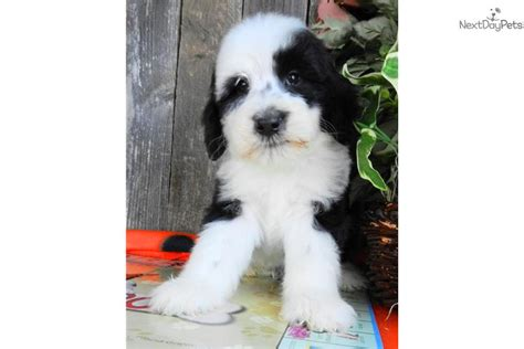 sheepadoodle puppies for sale sheepadoodle puppies for sale for 500 in florida breeds picture