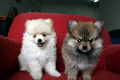 colored pomeranian puppies pomeranian colors puppies