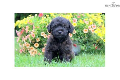 poodle mix puppies near me poodle miniature puppy for sale near lancaster pennsylvania 954a3220 dbd1