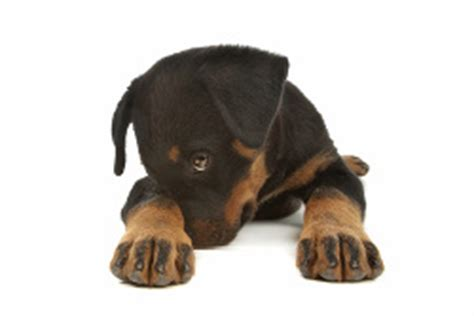 when do rottweilers stop teething how to stop puppy biting a of rottweilers