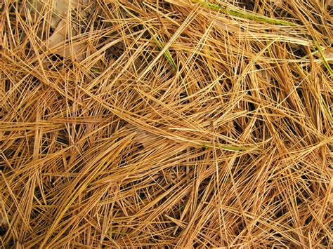 mulching problems pine needle mulch gardenswag