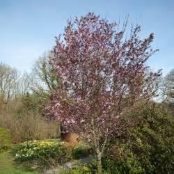 prunus cerasifera nigra black cherry plum dobbies garden centres