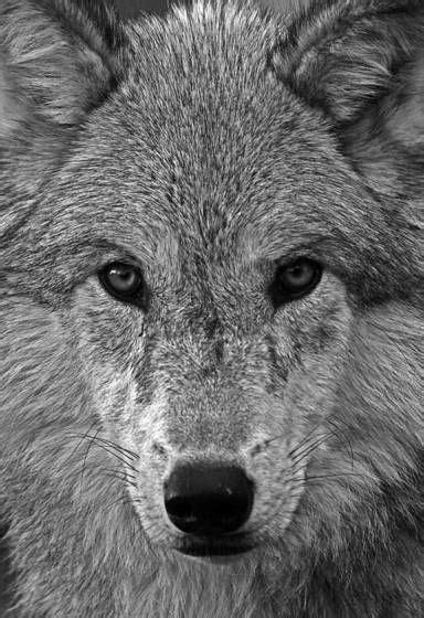 Look into my eyes | Lobo cinzento, Fotos de lobos e Wolf love