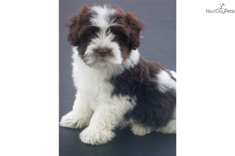 akc havanese breeders new york havanese puppy for sale near buffalo new york f7e026f2 5c41