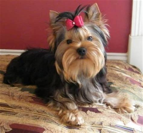 4 month yorkie akc yorkie pup 4 month yorkie yorkie 4 month olds and puppys
