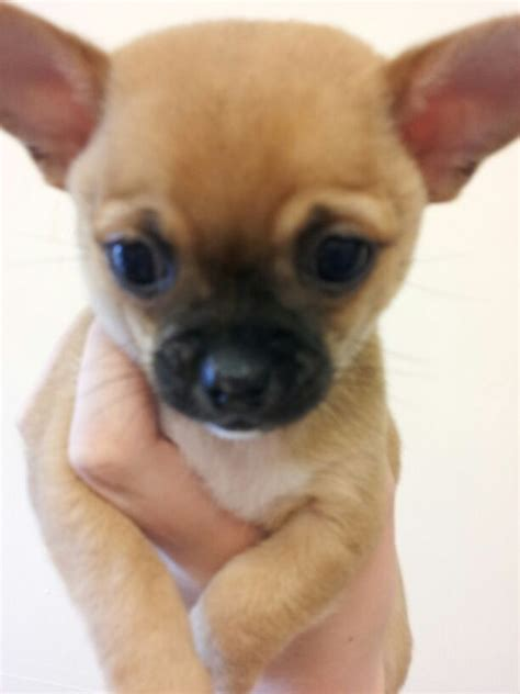 chihuahua puppies price chihuahua coat puppies reduced price carlisle cumbria pets4homes
