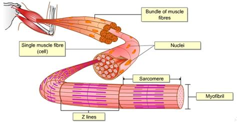 4 proteins associated with myofibrils biology form 6 neuromuscular junction i