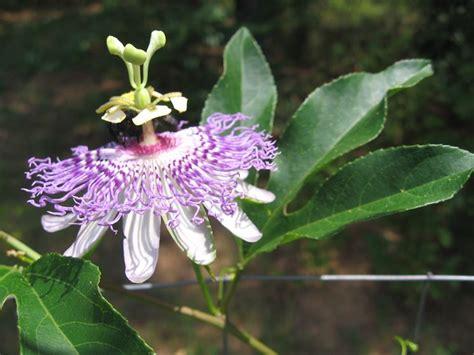 passiflora in vaso passiflora ricanti coltivare passiflora
