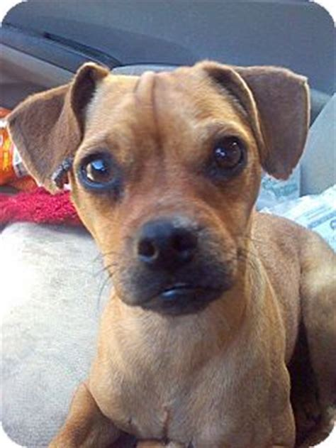 pug pinscher mix manassas va miniature pinscher pug mix meet bugsy a for adoption