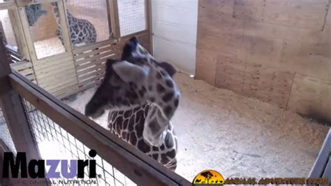 Awaits Birth by Animal Park Awaits Birth Of Baby Giraffe Wfla