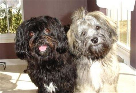do havanese bark but all my friends are doing it bark confessions of a trainer