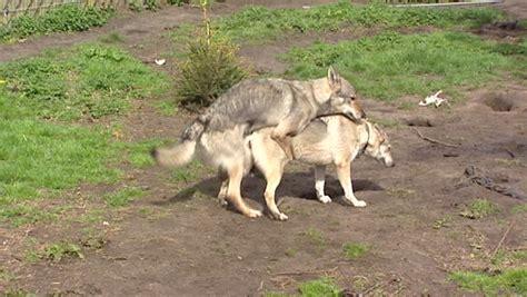 czechoslovakian wolfdog mating the slovak wolfdog looks