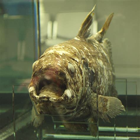 indonesian coelacanth wikipedia