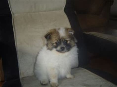 pomeranian breeders oregon pomeranian breeders oregon