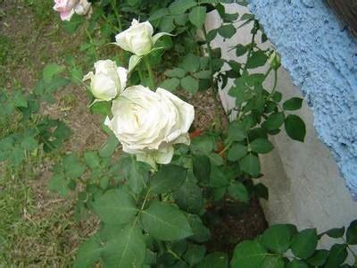 imagenes de flores extrañas rosa blanca pura vi el otro da foro de infojardn