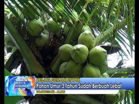 Bibit Kelapa Genjah Entok Kebumen kelapa genjah entok umur 3 tahun sudah berbuah lebat