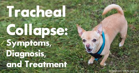 collapsed trachea in dogs treatment a strange condition in small breed dogs tracheal collapse
