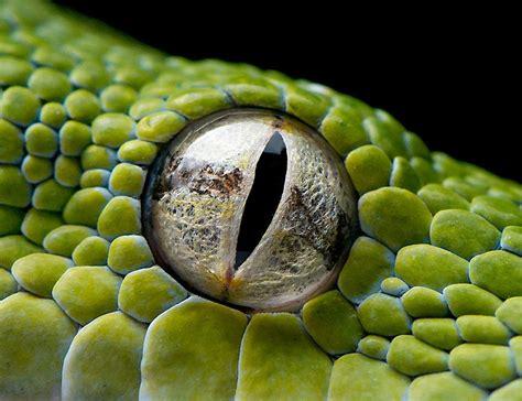 imagenes ojos de reptiles animales salvajes dentro de la mirada del reptil el