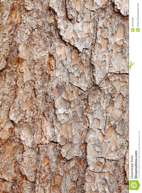 bark of pine tree texture royalty free stock images