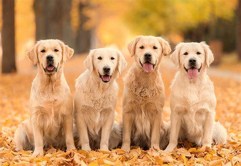 jag golden retriever pocket golden retriever goldenacresdogs