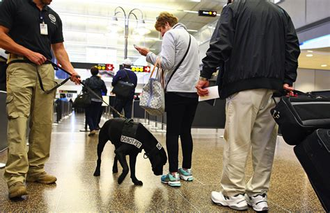 tsa dogs dogs to help tsa sniff out trouble at sea tac picture this the seattle times