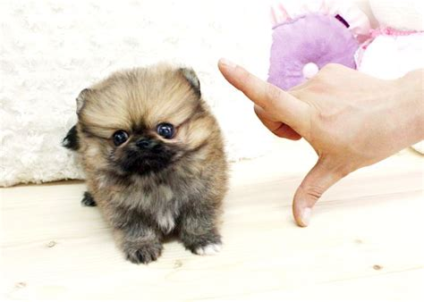 pomeranian for sale houston pomeranian puppies for sale in houston teddy poms picture breeds picture