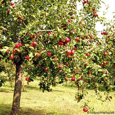 apfelbaum pflanzen wann apfelbaum kaufen apfelbaum kaufen in 6 schritten zur