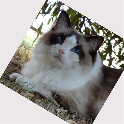 ragdoll puppies ragdoll cat breeders