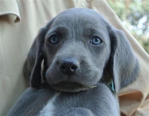 weimaraner puppy the blue weimaraner owyheestar weimaraner s news