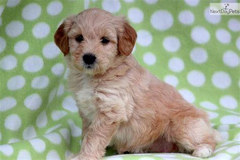 miniature golden retriever for sale miniature golden retriever puppies for sale breeds picture