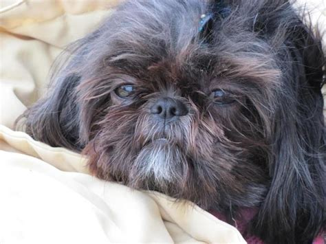 wall eyed shih tzu 107 best images about adorable shih tzu s on