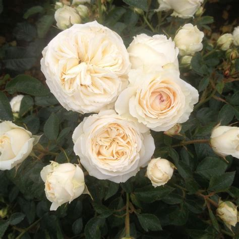 rose silver anniversary ht white roses cowells