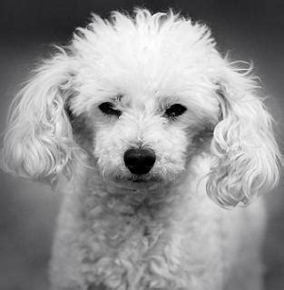 Doggie Day Care Murder tiny poodle shuts airport the poodle and