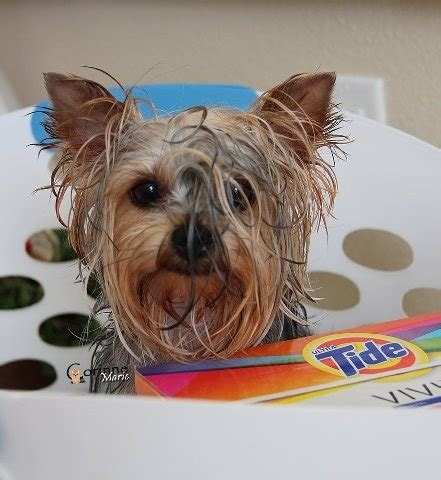 how to wash a yorkie 190 best images about yorkie hairdo on