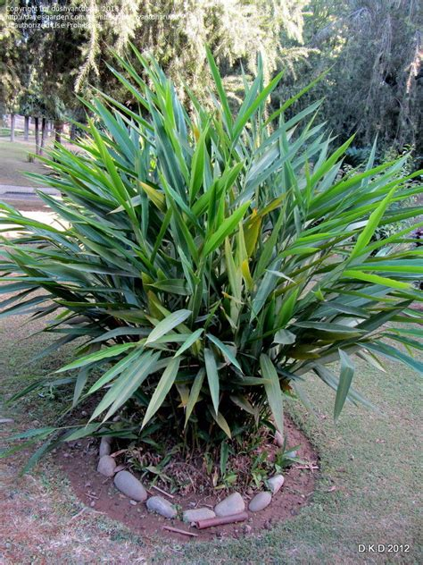 plantfiles pictures hedychium species butterfly ginger