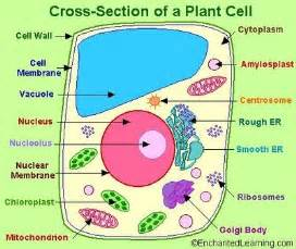 Cross Section Of A Plant by Plant Cell Emily S Classroom