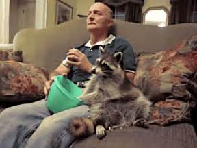 proof that pet raccoons make strange but wonderful pets