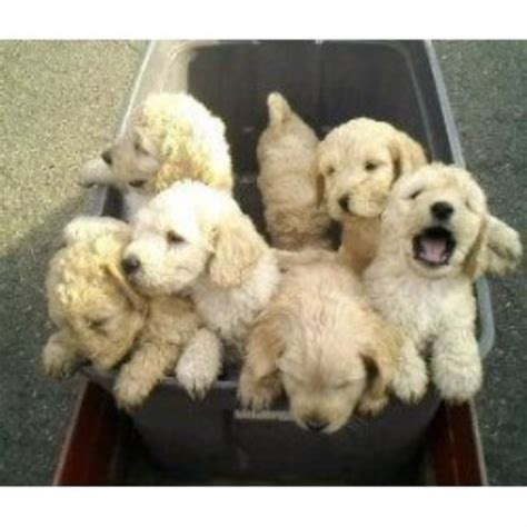 goldendoodle puppy nj cha cha doodles goldendoodle breeder in columbia new