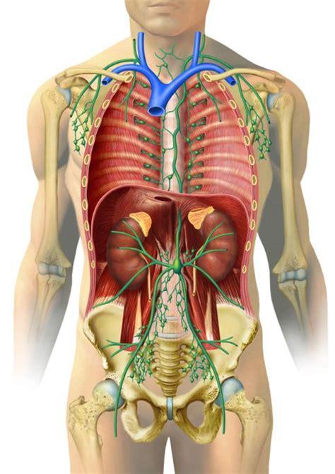 innere organe mann teil des immunsystems lymphknoten und bahnen im