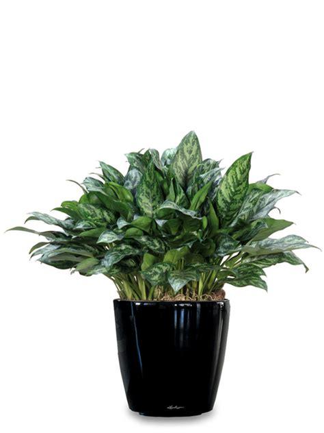 desk plant 05 algaonema inscape indoor plant hire