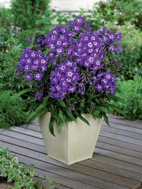 Soil Mix For Container Gardening - jardin jasmin phlox paniculata purple kiss