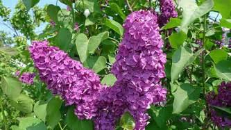 wohnen und garten fotocommunity flieder richtig pflanzen schneiden und vermehren